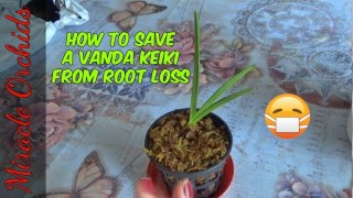 How to save a vanda keiki from root loss