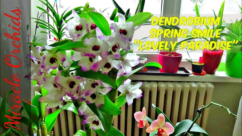 Dendrobium Spring Smile Lovely Paradise – Amazing blooms with an outstanding fragrance