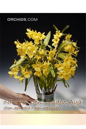 Images Of Den Golden Aya Den Aphrodite X Den Capillipes
