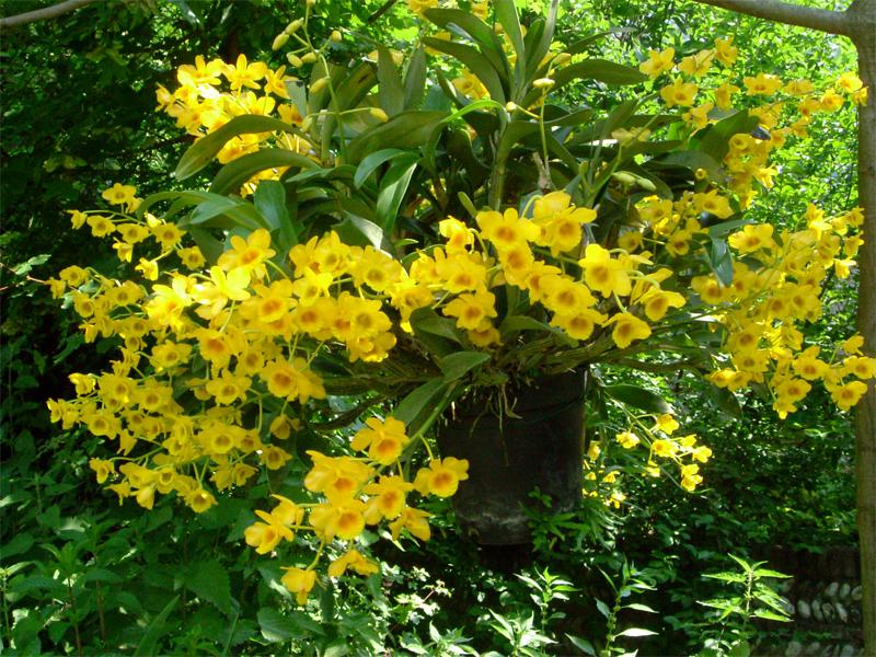 Dendrobium chrysotoxum: tradizioni e leggende