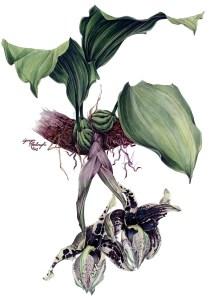Stanhopea nigroviolacea