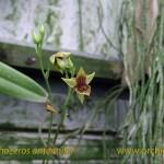 trichoceros_antenn_fiori