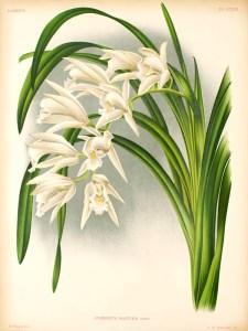 C. mastersii - Lindenia