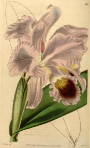 Cattleya labiata - Bot. Mag.