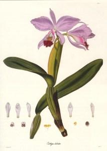 Cattleya labiata - Coll. Bot.