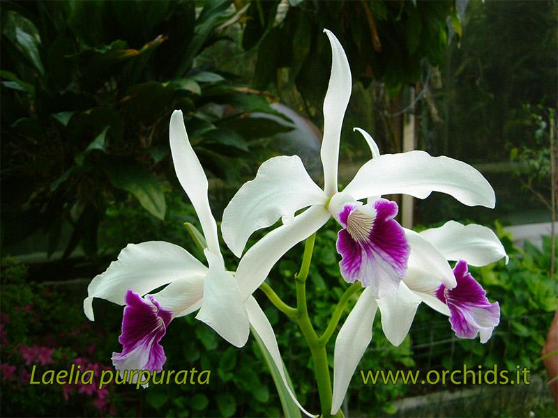 Laelia purpurata var. russelliana