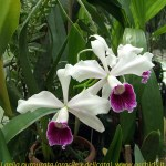 laelia_-purpurata_gracxdel_