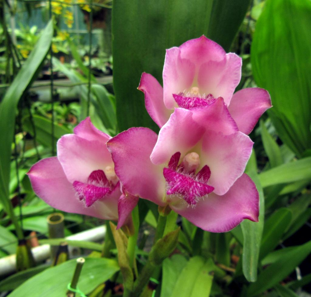 Mostra di orchidee a Maserada sul Piave: Facciamola di notte