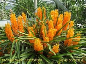 ascocentrum_curvifolium_1