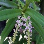 orchidee_schio_s.micranthum