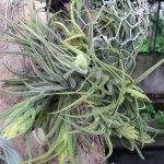 orchidee_schio_tillandsia