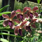 orchidee_schio_vanda