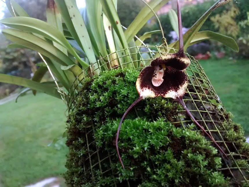Dracula vlad-tepes: tranquilli, è un'orchidea!