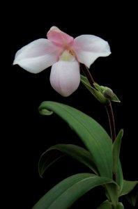 pordenoneorchidea_phragmipedium_andreettae