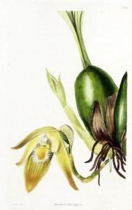 Fig.02 02 Maxillaria barringtoniae Bot.Cab.1-2