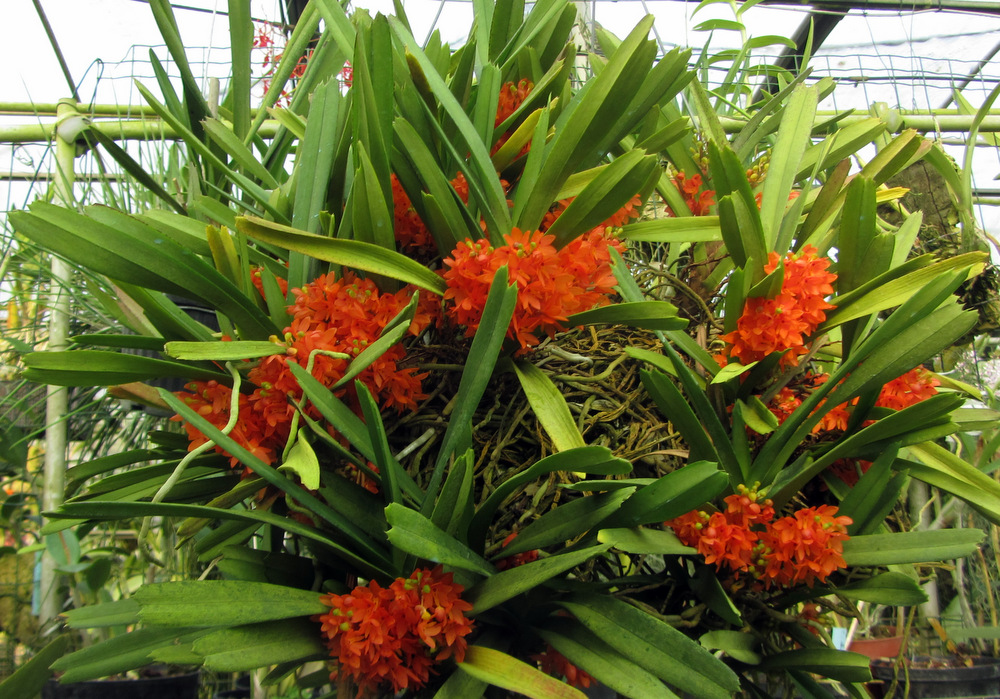 L'ansia del collezionista di orchidee alla vigilia di una mostra