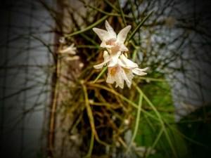 dendrobium_modestum_fiori