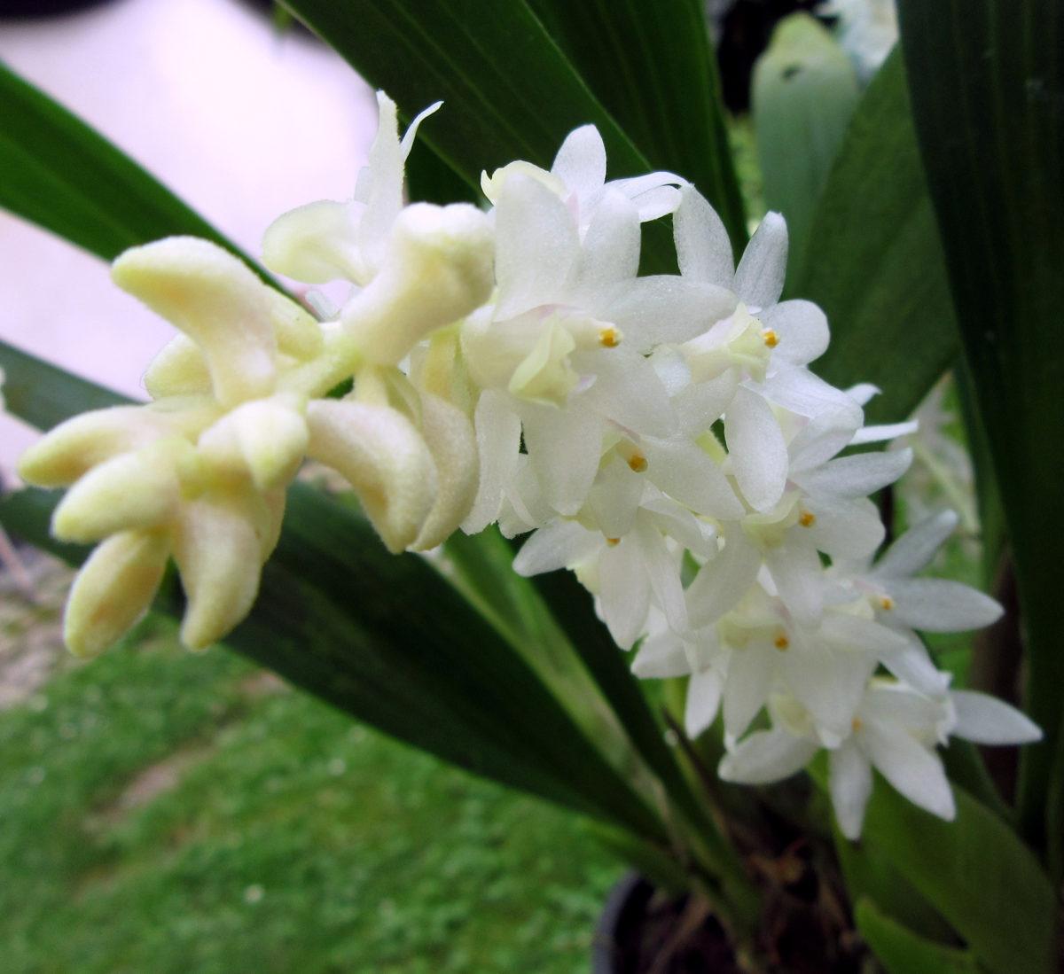 Brylobium hyacinthoides ex  Eria hyacinthoides
