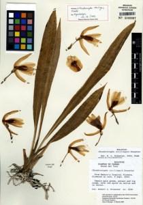 chondroscaphe_atrilinguis_holotype