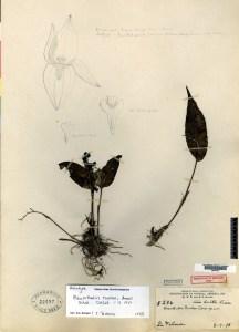 pleurothallis-rowleei-holotype-ames