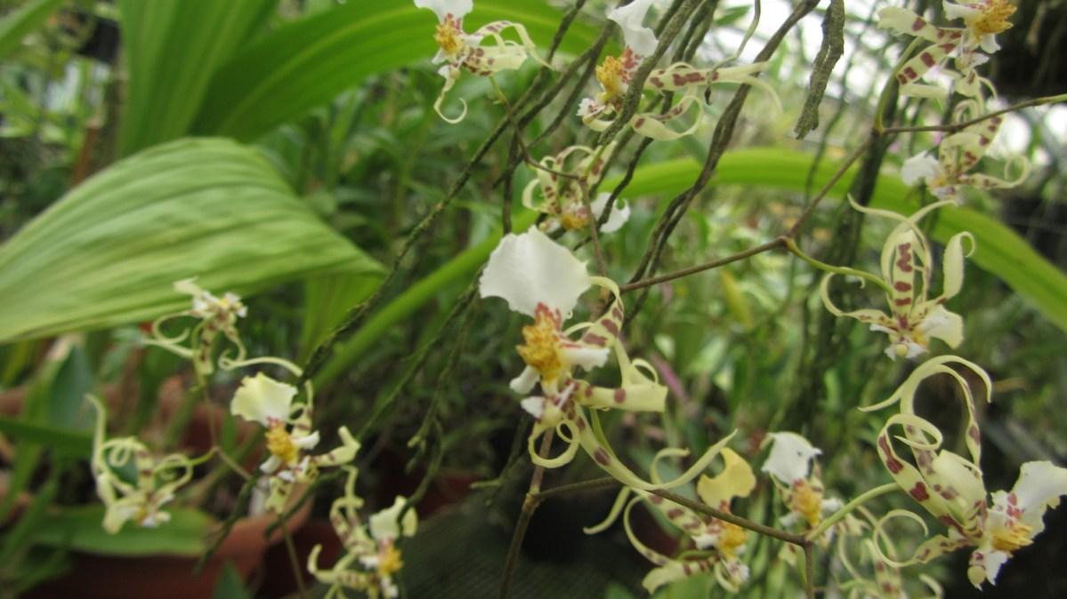 Miltonia phymatochila    ex  Oncidium phymatochilum