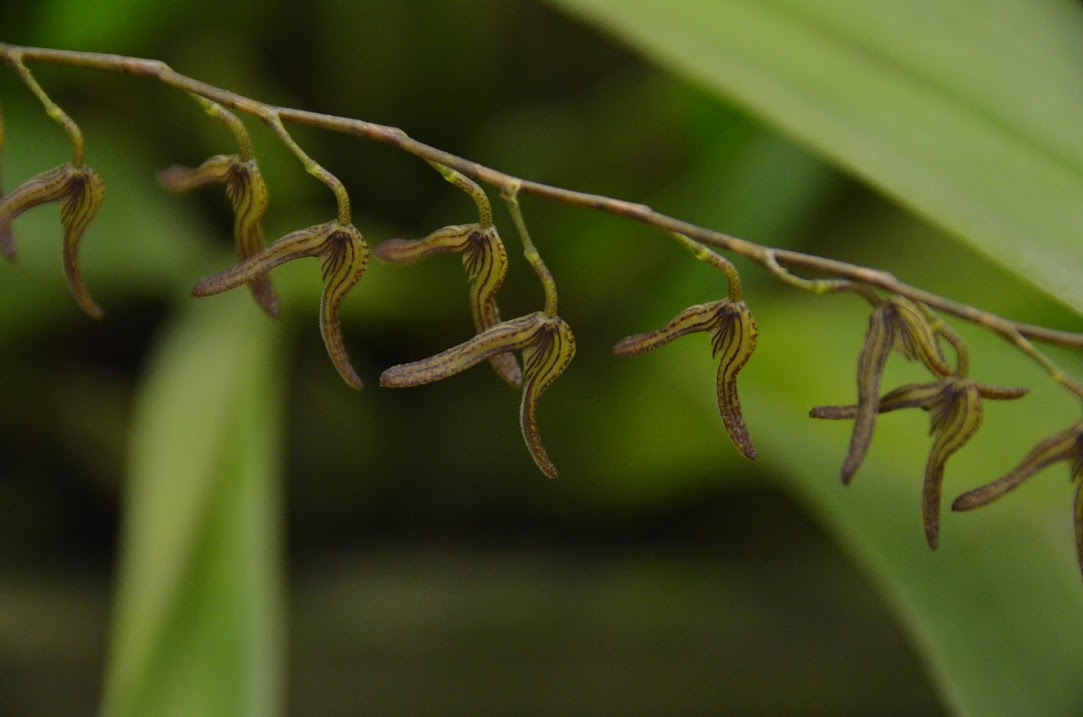 Acianthera alligatorensis o  alligatorifera – ex  Pleurothallis