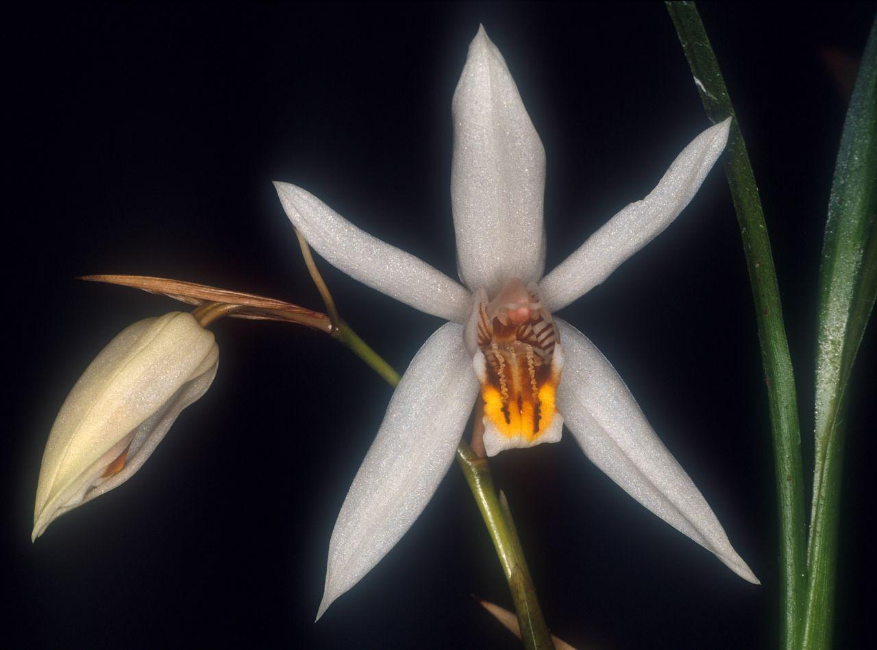 Resultado de imagem para coelogyne graminifolia