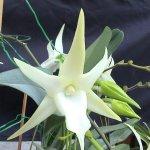 Angraecum orchid