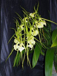 Brassia Orchids - Otherwise known as the Spider Orchid