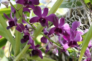 How to care for Dendrobium Orchids in your home