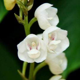 Facts About The Dove Orchid