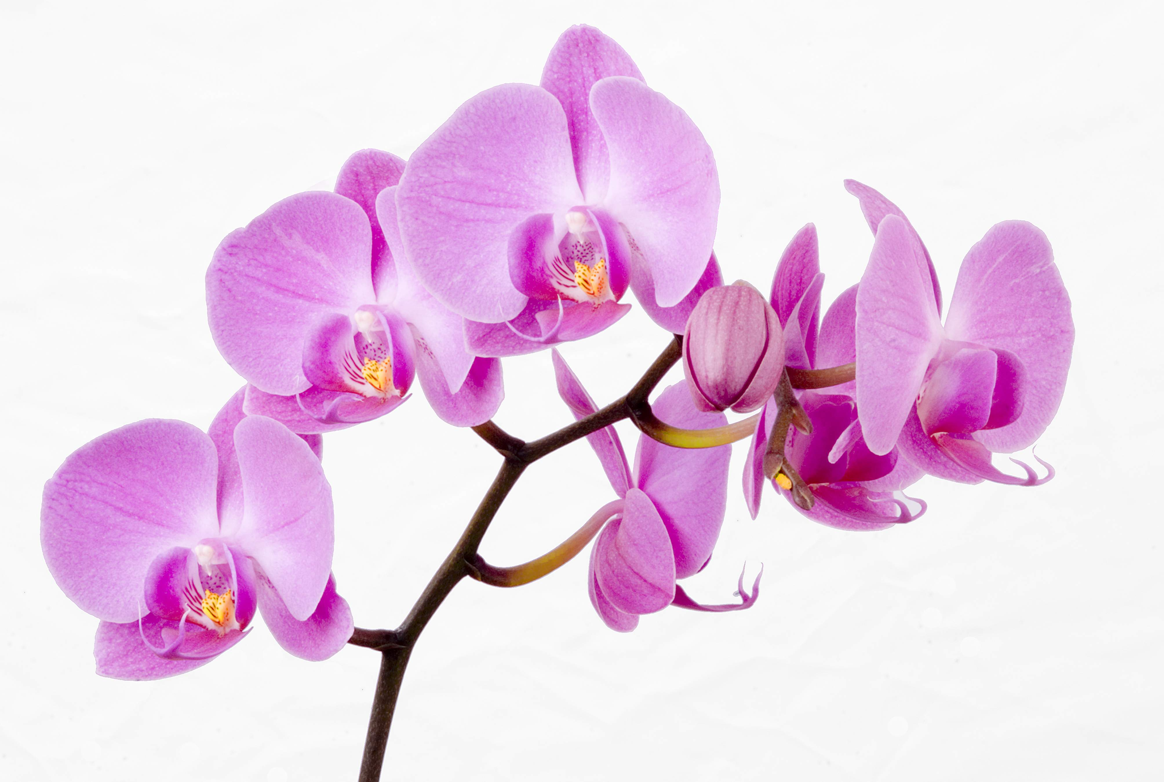 How long do orchids live growing indoors despite having no smell which is the case for most orchids they are still widely admired orchids kept inside the home can actually become a feature of reviewsmspy