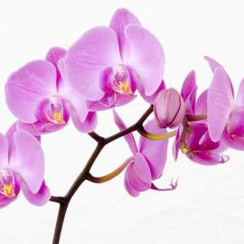 How long do Orchids Live Growing Indoors?