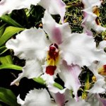 Odontoglossum are extremely adaptable and can be grown indoors or outdoors if provided shelter and warm temperatures