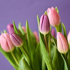 Tulip Mania – The Economic History of Tulips