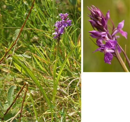Narrow Leaved Marsh Orchid