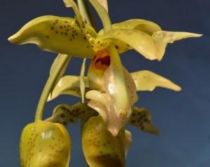 Stanhopea inodora (spotted form)