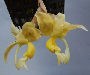 Stanhopea maduroi