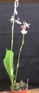 Eulophia quartiana x E. guineensis