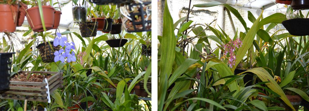 Scenes from my cooler greenhouse, showing Vanda coerulea (left), Epidendrum capricornu and Maxillaria callichroma (right).