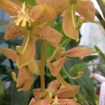Cycnoches aureum x herrenhusanum