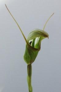 Pterostylis furcillata