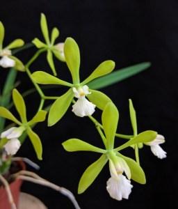 Encyclia tampensis var alba