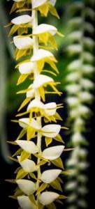 Dendrochilum flower detail