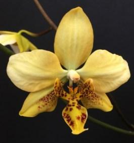 Phalaenopsis stuartiana var nobilis
