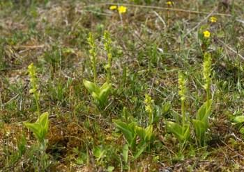 Fen Orchid (Liparis loeselii)