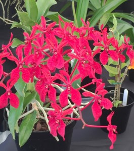 Renanthera phillipinensis