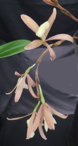 Trichopilia laxa