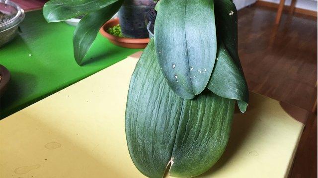 foglia orchidea disidratata
