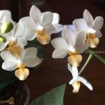 phalenopsis fiore bianco